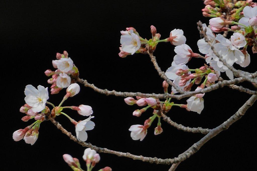 夙川公園(夙川河川敷緑地)の桜